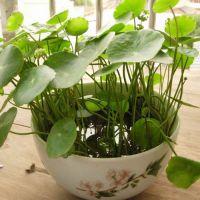 武汉大型植物发财树盆栽,开业庆典植物,送贺联