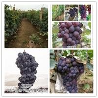 夏黑葡萄苗基地 成活率高的葡萄苗 挂果多 丰产