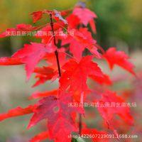直销美国红枫小苗 批发包邮美国改良红枫 北美红枫 园林绿化苗木