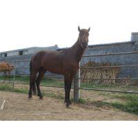 伊犁马养殖场伊犁马多少钱哪里有卖骑乘马的能骑的马多少钱一匹