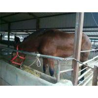 肉马的价格、肉马、万隆畜牧养殖