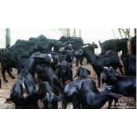 怎样养好黑山羊金龙黑山羊养殖场