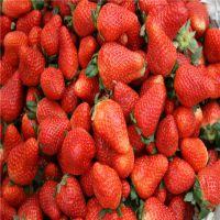 草莓苗 哪里有卖的 草莓苗多少钱一棵 哪里的品种好 山东种植基地 当年生脱毒大棚种苗