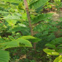 泰山板栗苗 抗虫害产量高 泰山大地果树园艺草