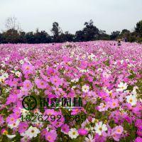 优质波斯菊格桑花 绿化工程景观花卉种子批发,野花组合 二月兰多少钱 易成活出芽率高 质量保证