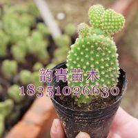 出售绿色植物防辐射仙人掌 多肉植物  白毛掌盆栽 净化空气