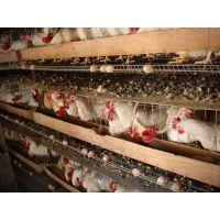 蛋鸡专用益生菌制剂益生菌制剂批发