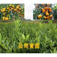 宜州哪里有无病虫害的黄金柑苗买