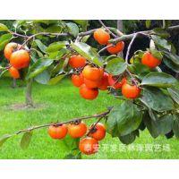 买价格低质量好的柿子苗到林泽园艺场找小周 质量不好无条件退货