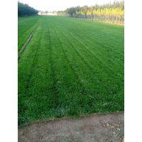 内蒙古足球场草坪价格/草皮/绿化草坪/草皮种植