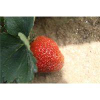 章姬草莓苗|龙鑫苗木(图)|章姬草莓苗栽培