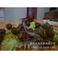 【专业供应】优质品种散大蜗牛 食用散大蜗牛 诚信经营 品质保证
