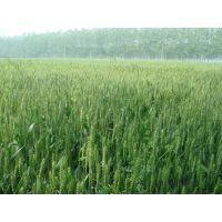 5000亩小麦种植面积、优质的小麦麦种、***管理手段