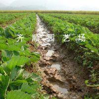 甜茶理草莓苗 法兰地草莓苗专业供应