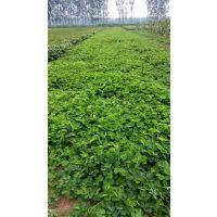 草莓苗 优质红颜草莓苗新品种 优质章姬草莓苗新品种