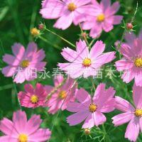 批发出售波斯菊种子 大花波斯菊种子 美丽的格桑花种子