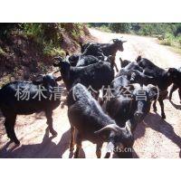 滇元养殖场供应放养本地黑山羊母羊18公斤-45公斤怀孕羊