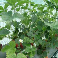 山东红颜草莓苗多少钱一棵 哪里卖得草莓苗好 怎样选购