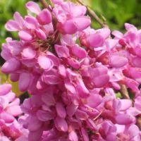 基地种植 供应优质紫荆苗 紫叶加拿大紫荆 量大优惠 庭院观赏花卉 欢迎来电