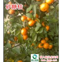 砂糖桔柑橘种苗