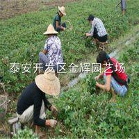 批发浙江草莓苗 浙江草莓苗的价格 浙江草莓苗质量
