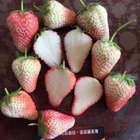 沈阳白草莓苗,乾纳瑞农业科技(图),白草莓苗品种