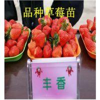 草莓苗批发,章姬草莓苗批发,品种草莓苗多少钱(多图)