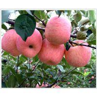 苹果苗多少钱一棵?泰安润佳农业大量供应优质高产烟富 寒富等品种