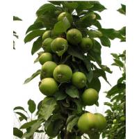 润太一号柱状苹果苗密植苹果苗观赏苹果苗红富士柱状苹果苗