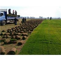 河北便宜供应绿化草坪农民自产自销优惠价格