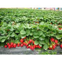 红颜草莓苗基地供应 包成活