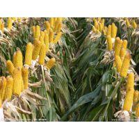 供应全国各地区玉米种