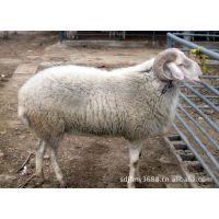 个体养殖场头胎小尾寒羊孕羊-二胎小尾寒羊怀孕羊价格 提供技术