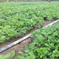 草莓苗、乾纳瑞农业科技、哪里有卖咖啡草莓苗