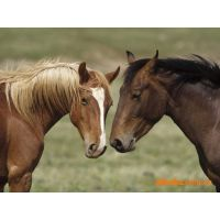 山东翔宇养殖场供应种马养殖 驯马基地 马驹子 德国矮马