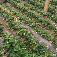 草莓苗|乾纳瑞农业科技|红颜草莓苗多少钱一株