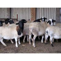 杜泊绵羊出售种公羊价格