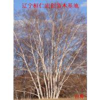 白桦小苗、白桦基地、辽宁白桦、白桦种苗、白桦种苗基地