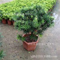 批发观叶植物 室内常绿迷你盆栽 罗汉松盆景 防辐射苗木绿化工程