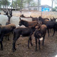 现在的小驴苗价格是多少钱一头##养驴效益好吗?