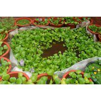 水葫芦种苗 水葫芦价格 水葫芦哪里有