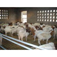 养羊多大的好养 肉羊多少钱一头 波尔山羊养殖 免费运输价格低