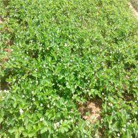 大棚草莓苗种植什么品种 什么品种适合大棚种植 哪里有草莓苗