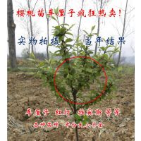 批发果树苗优质樱桃苗 当年结果 矮化北方大樱桃苗 南方樱桃苗
