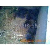 供应高产皇竹草种,竹鼠种苗,商品竹鼠