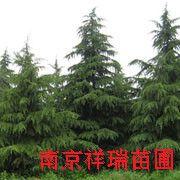 南京雪松价格 雪松价格绿化苗木出售