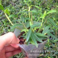 铁皮石斛苗 野生枫斗盆栽基地种植苗 2年驯化苗带盆发货成活率高