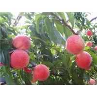 桃树苗哪的品种全?泰安佳丽园艺大量供应优质高产品种桃树苗
