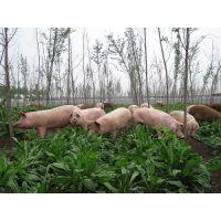 黑龙江省哪里有卖养猪用的牧草种子的