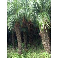 供应美丽针葵 棕榈植物 福建漳州马口苗木公司 广东园林工程绿化